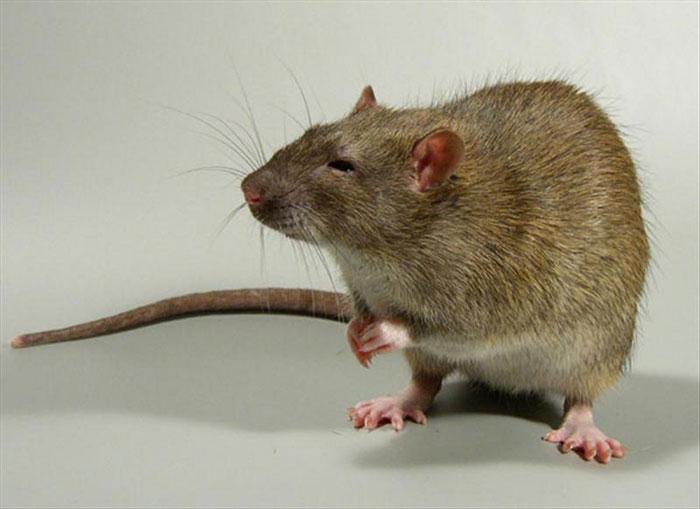 Сколько живут черные крысы