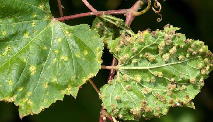 Филлоксера винограда: причины и меры борьбы