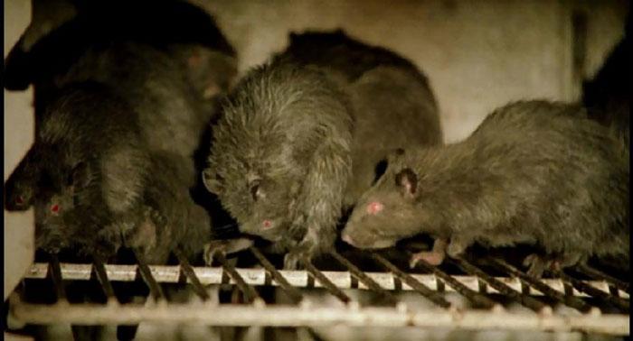 Как избавиться от крыс в частном доме, курятнике, квартире и других помещениях