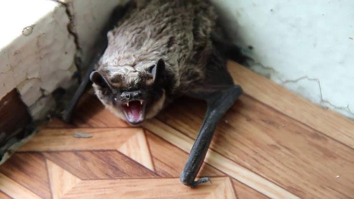 Летучая мышь на балконе что делать