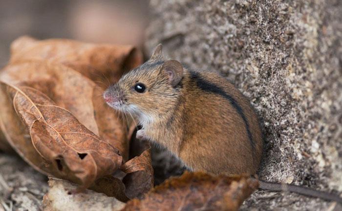 Полевая мышь: чем питается, как избавиться