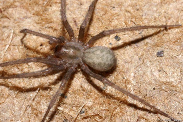 домовой паук фото первой