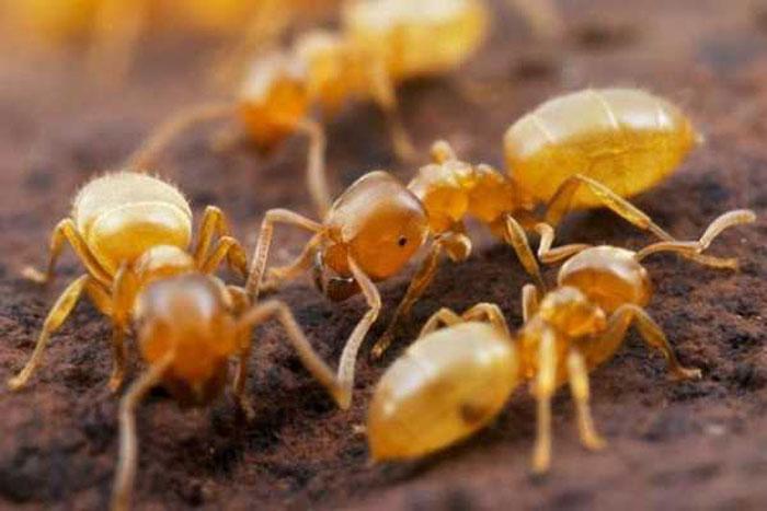 Как избавиться от желтых муравьев в доме