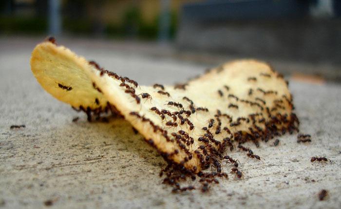 Чем отпугнуть муравьев в доме
