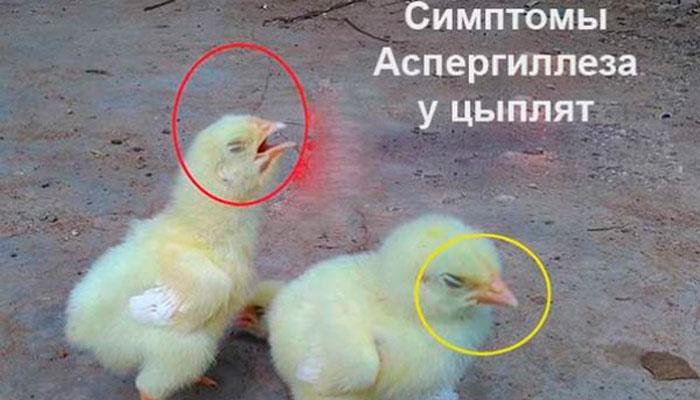 Симптомы аспергиллеза у цыплят