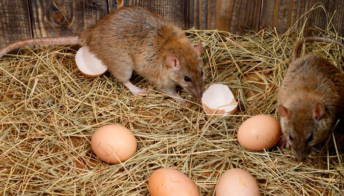 Порча яиц грызунами