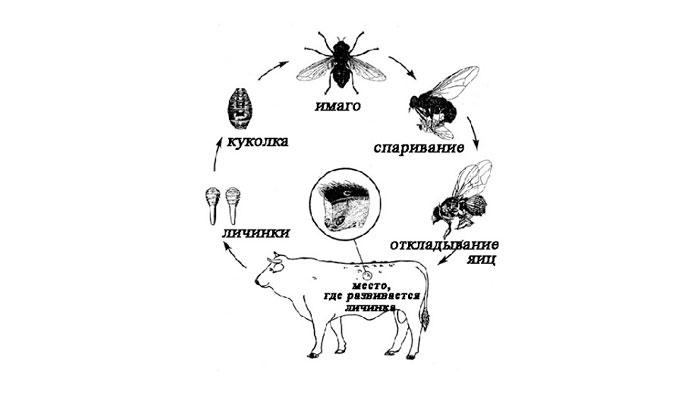 Жизненный цикл подкожного овода
